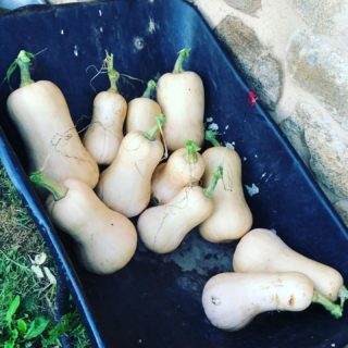 Not as many as previous years but grateful for what we managed to grow ❤️ 🍲 love home grown butternut ❤️
